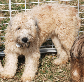 New York Soft Coated Wheaten Terrier Rescue Adoptions Rescueme